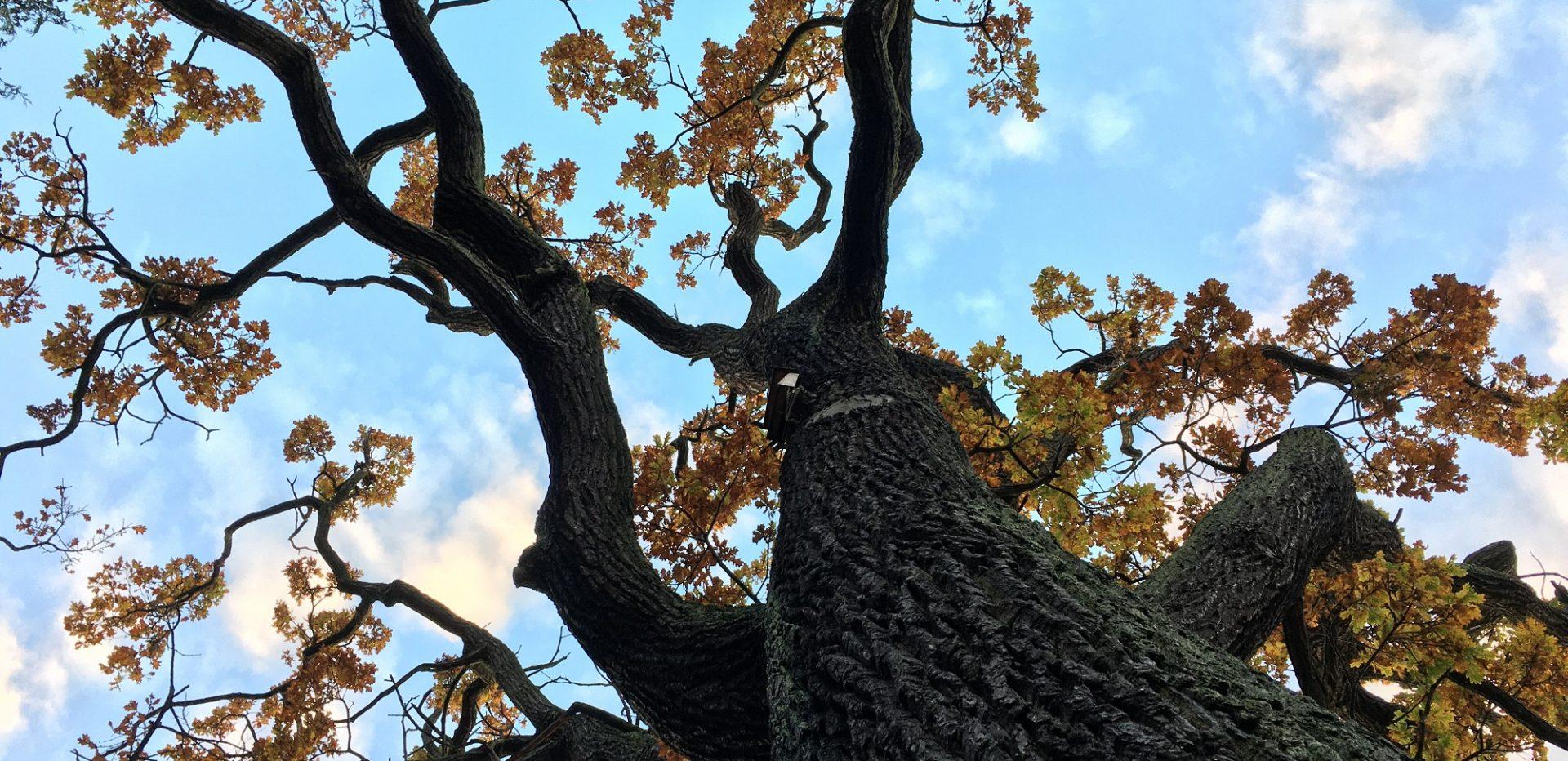 Et træ med gule efterårsblade og blå himmel.