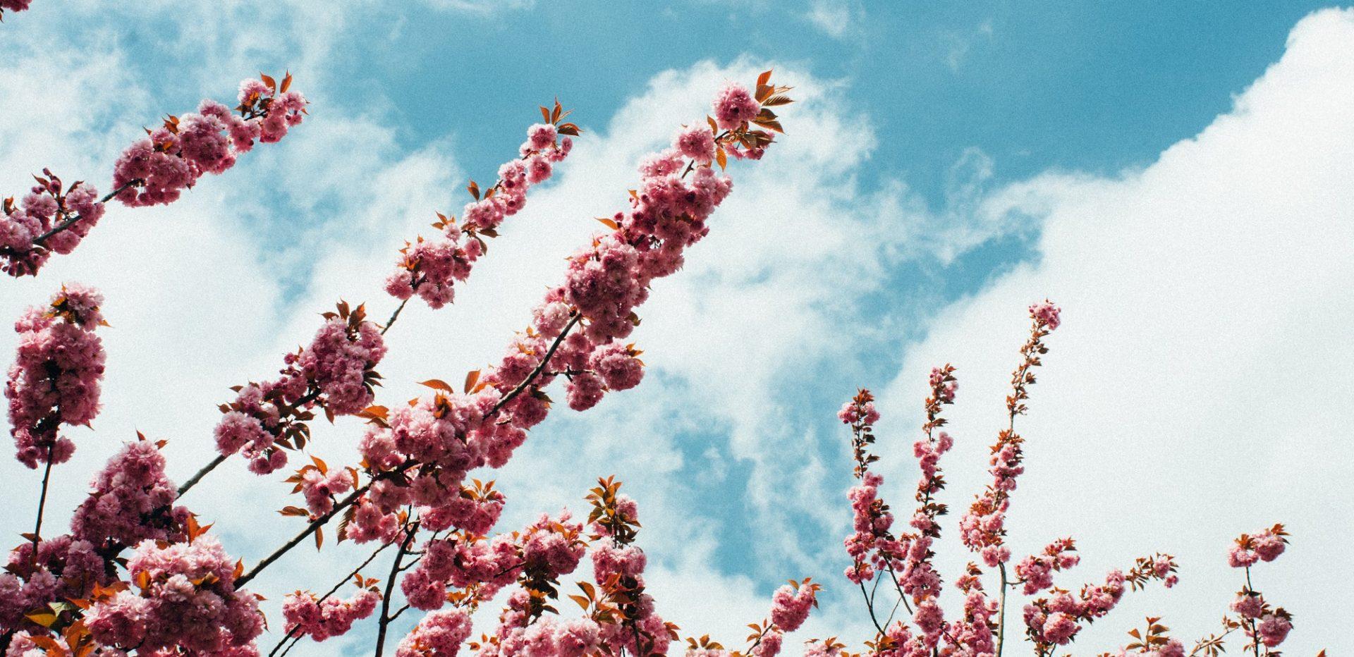 Blomster på et kirsebærtræ